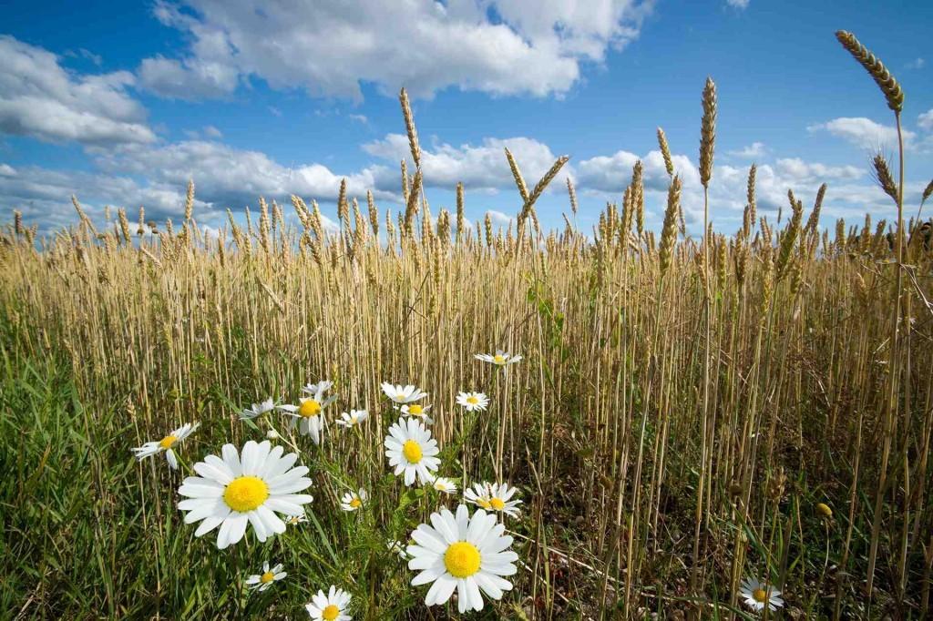 Campo di grano e camomilla autosvezzamento