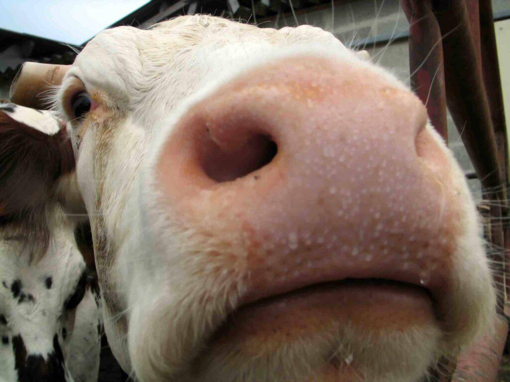 mucca latte vaccino da che età