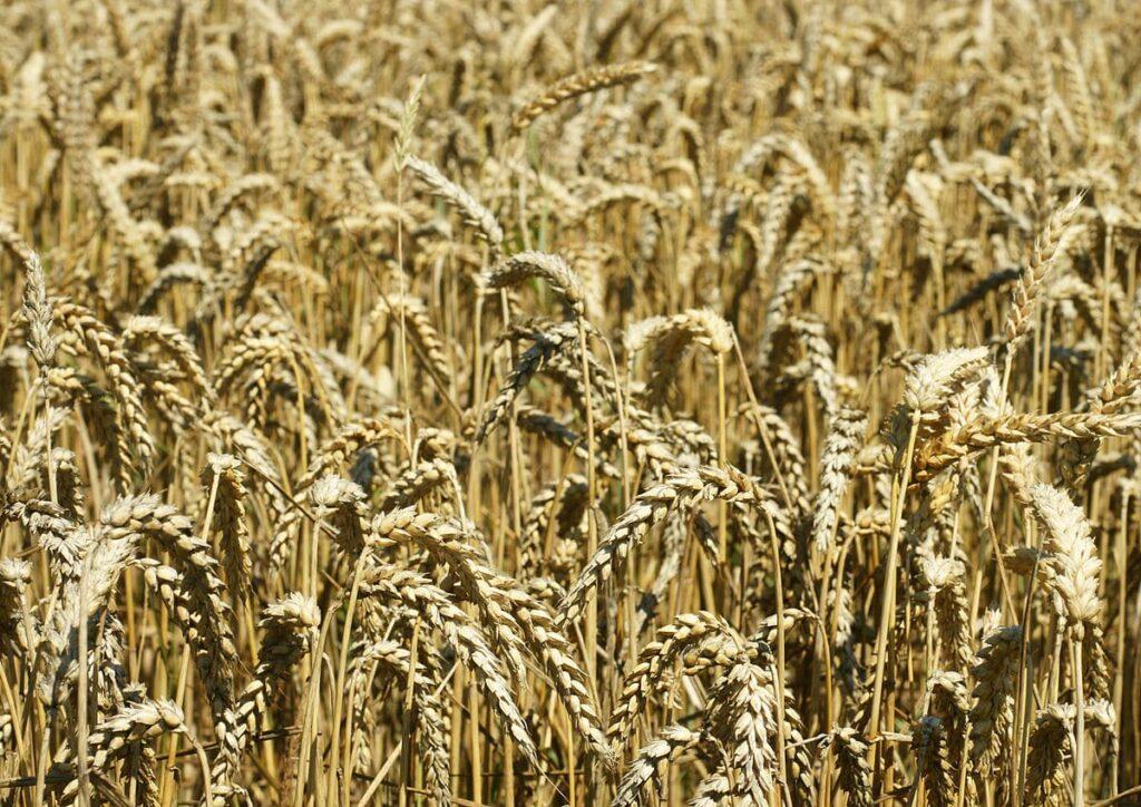 micotossine grano